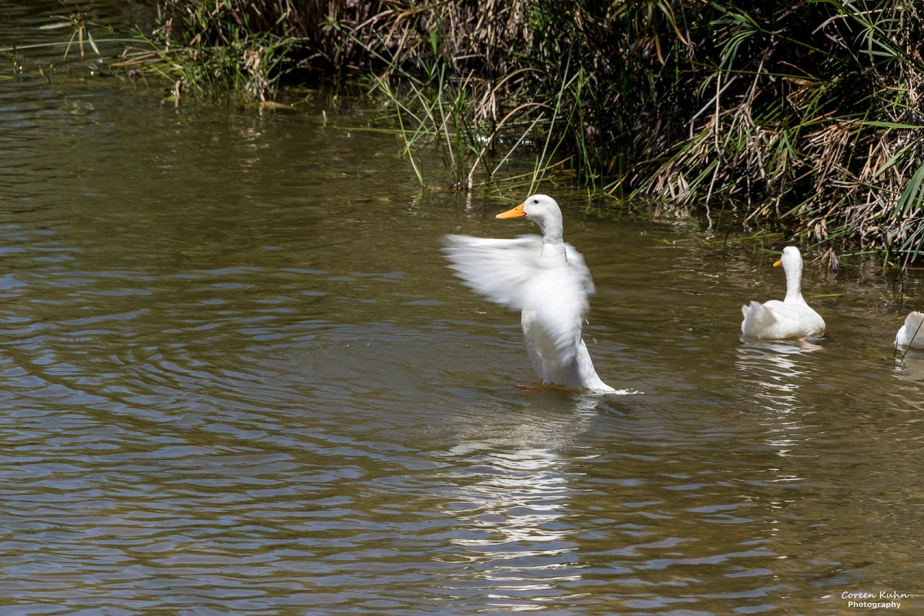 Fauna and Flora Friday: 25 June 2021 -White PekinDuck