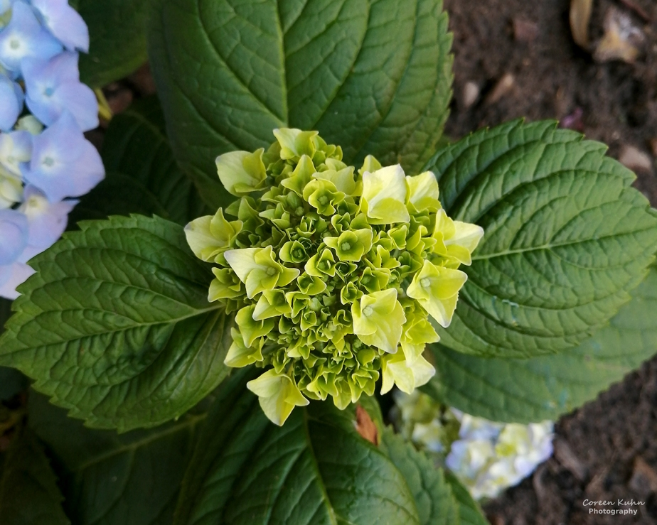 Cee's Flower Of The Day Challenge: 21 July 2021 –Hydrangea