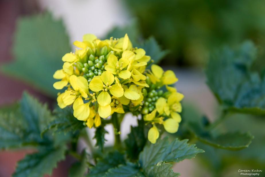 Cee's Flower Of The Day Challenge: 22 July 2021 – MustardPlant