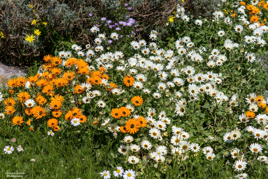 Cee's Flower Of The Day Challenge: 23 July 2021 – CapeMarigold