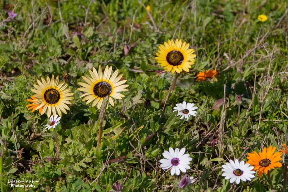 Cee's Flower Of The Day Challenge: 16 September 2021 – YellowMagriet