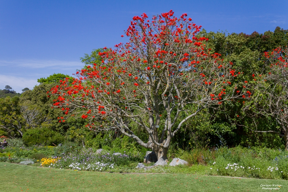 Cee's Flower Of The Day Challenge: 18 August 2021 – Common CorralTree