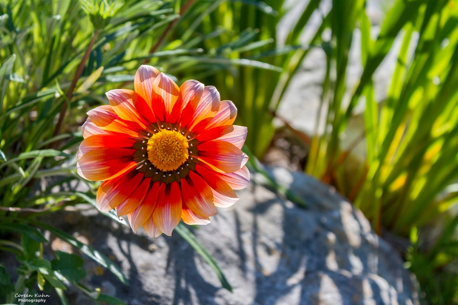 Cee's Flower Of The Day Challenge: 19 August 2021 – Gazania Rigens, AfricanDaisy