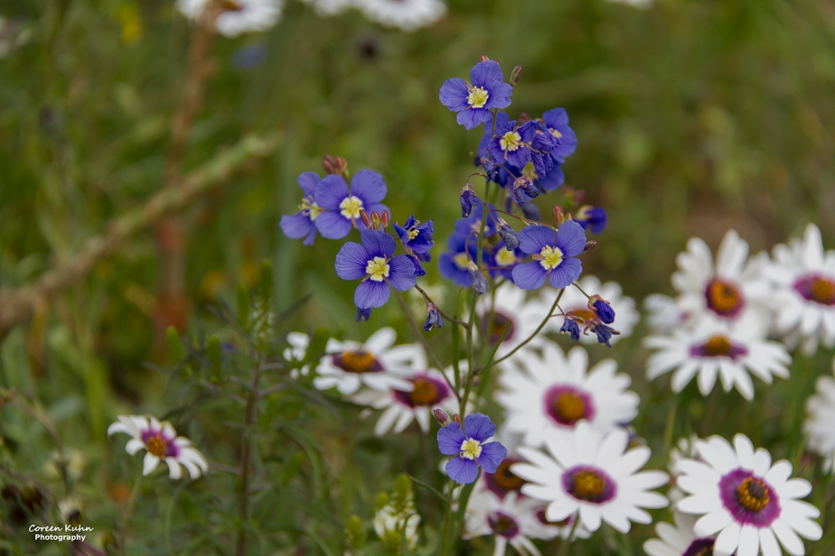 Cee's Flower Of The Day Challenge: 20 September 2021 – BlueSunflax