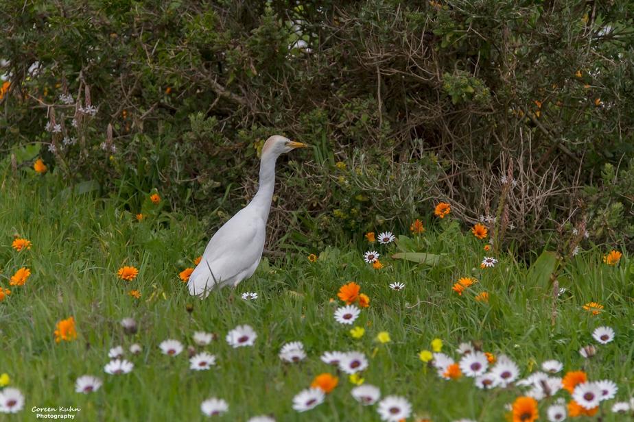 West Coast National Park: Birdlife ~ Cattle Egret#3