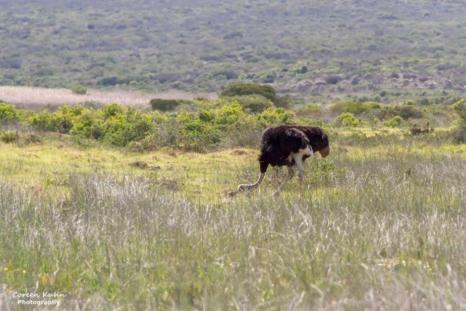West Coast National Park: Birdlife ~ Common Ostrich#2