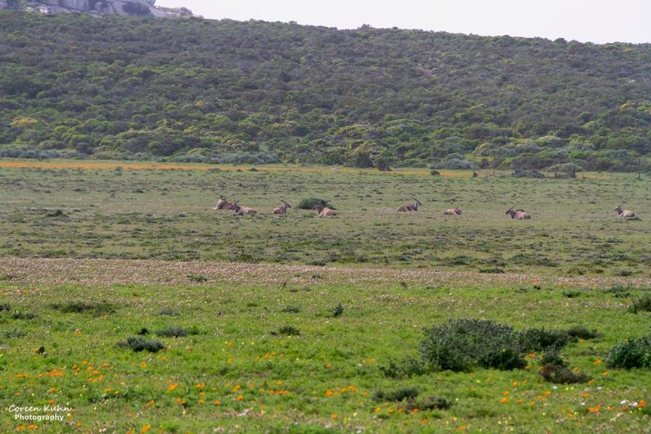 West Coast National Park: Wildlife ~ Eland#1
