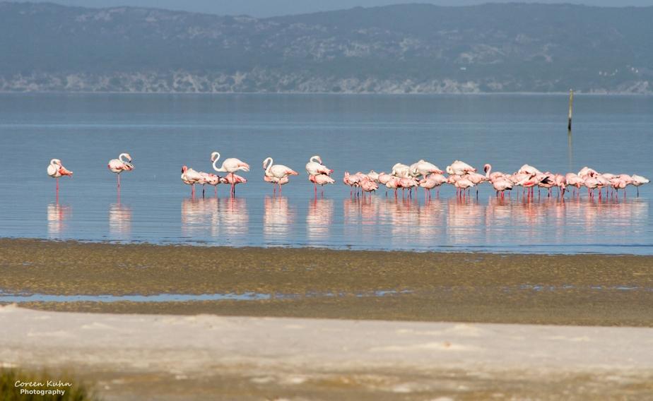 West Coast National Park: Birdlife ~ Greater Flamingo#6