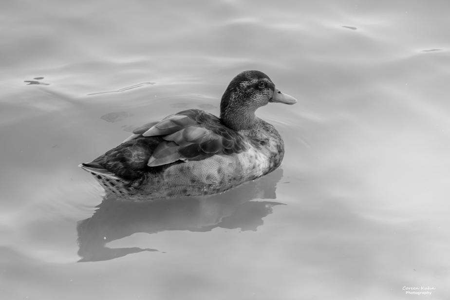Black and White Photography: Juvi Male Mallard Duck#1