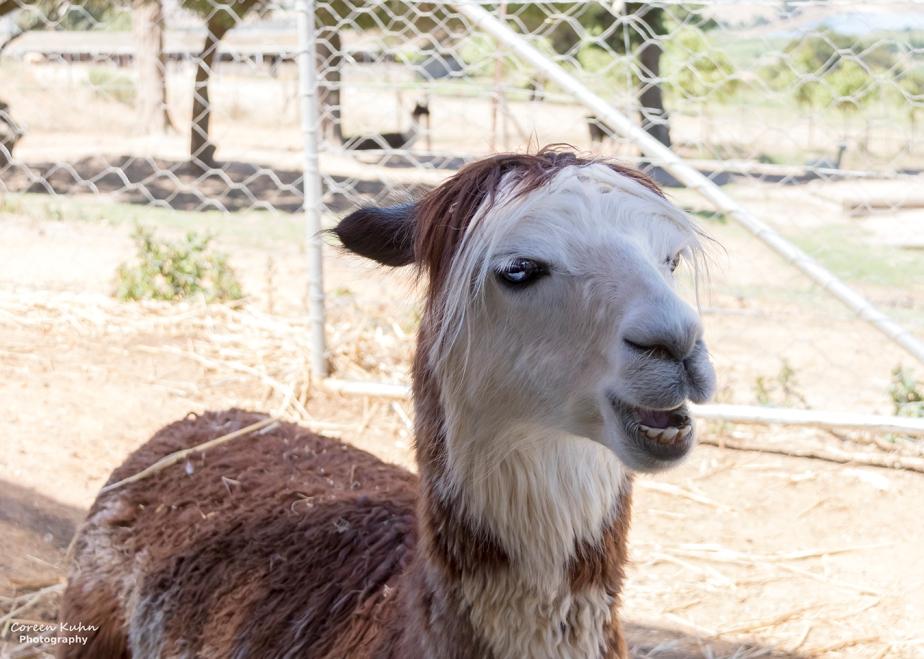 The Alpaca Loom#11