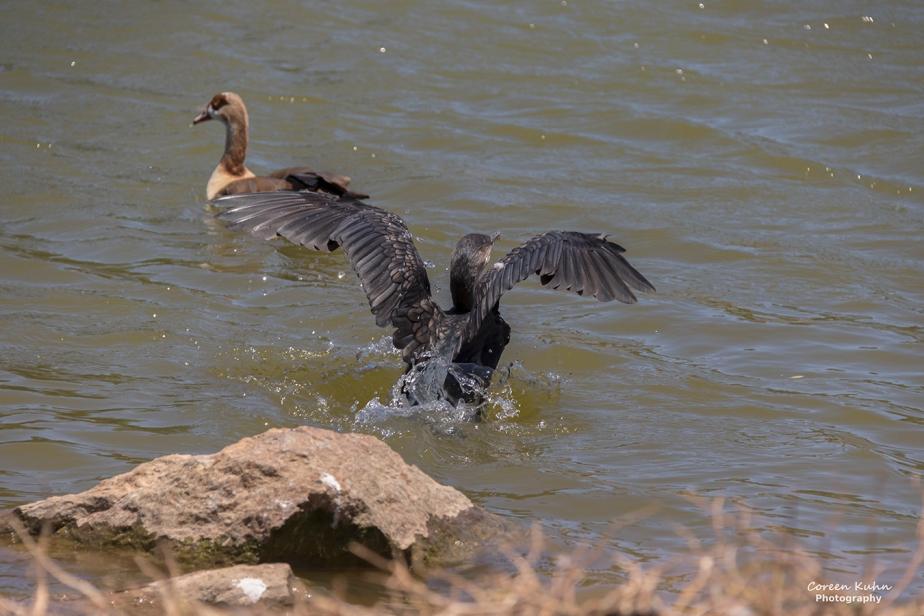 Sonstraaldam- White Breasted Cormorant#5