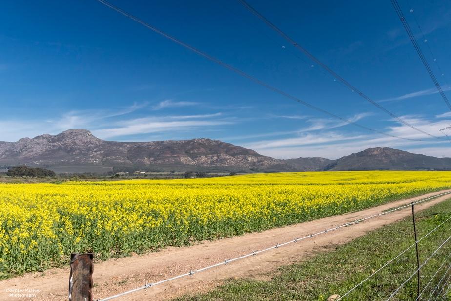 Views Along The R44 – Canola Field#5
