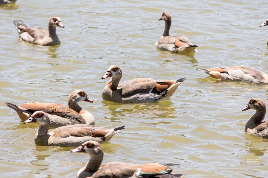 Sonstraaldam~ Egyptian Geese#4