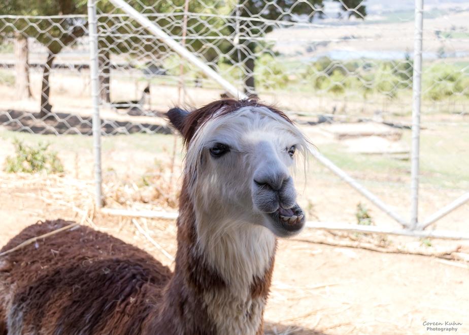 The Alpaca Loom#13