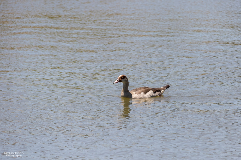 Sonstraaldam~ Egyptian Goose#5
