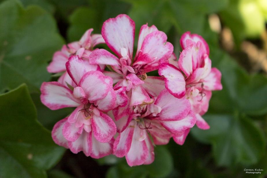 Cee's Flower Of The Day Challenge: 22 September 2021 – IvyPelargonium