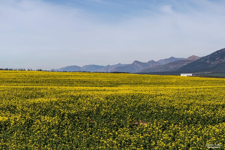 Views Along The R44 – Canola Field#3