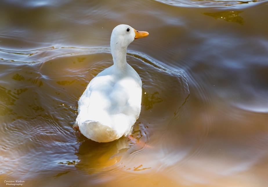 Sonstraaldam~ White Pekin Duck#2