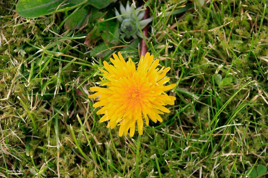 Cee's Flower Of The Day Challenge: 24 September 2021 –Dandelion