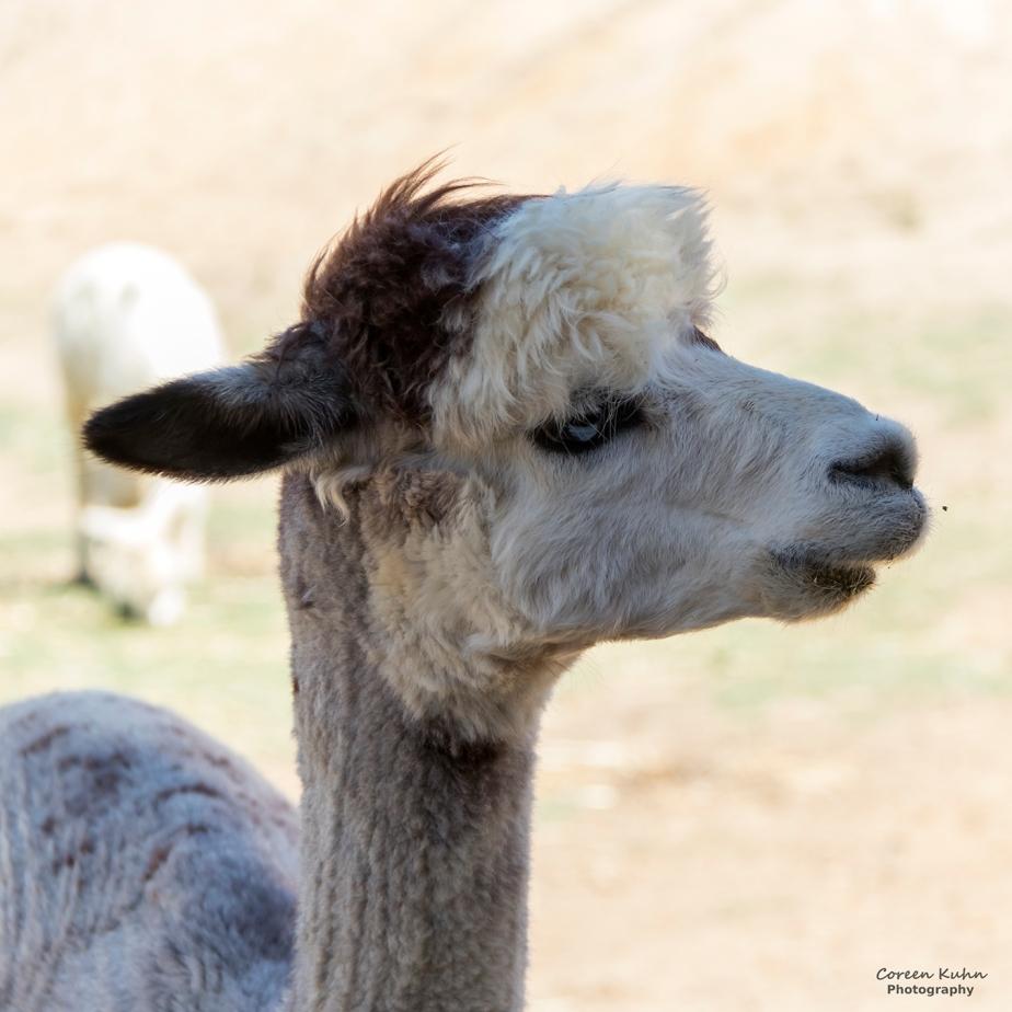 The Alpaca Loom#10