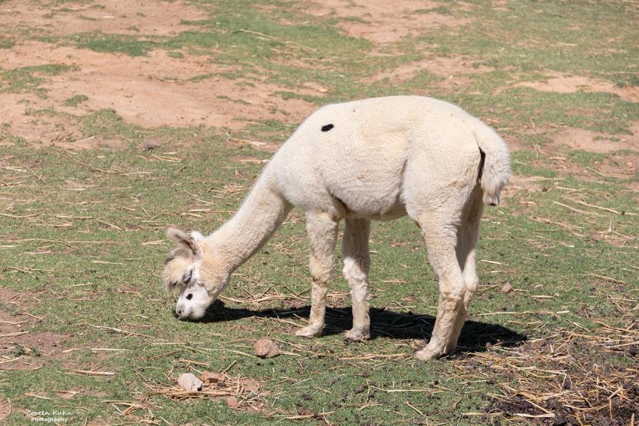 The Alpaca Loom#15