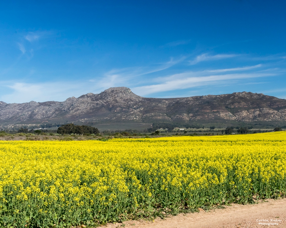Views Along The R44 – Canola Field#4