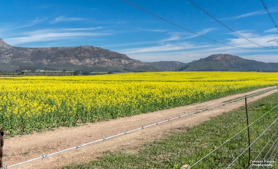 Views Along The R44 – Canola Field#2