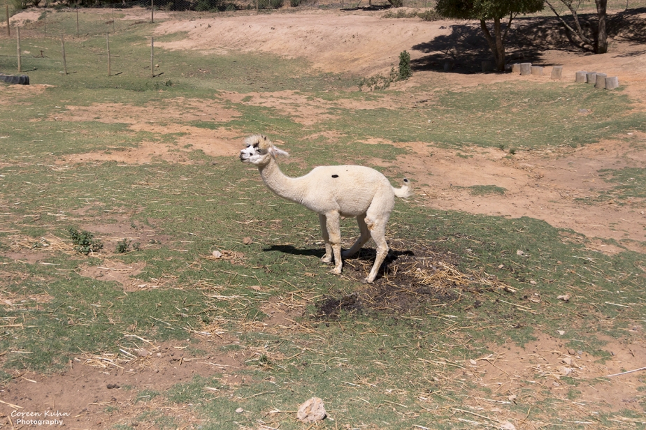 The Alpaca Loom#4