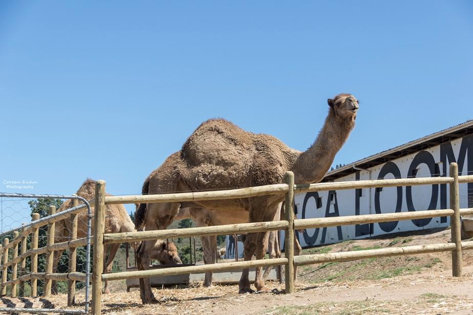The Alpaca Loom#2