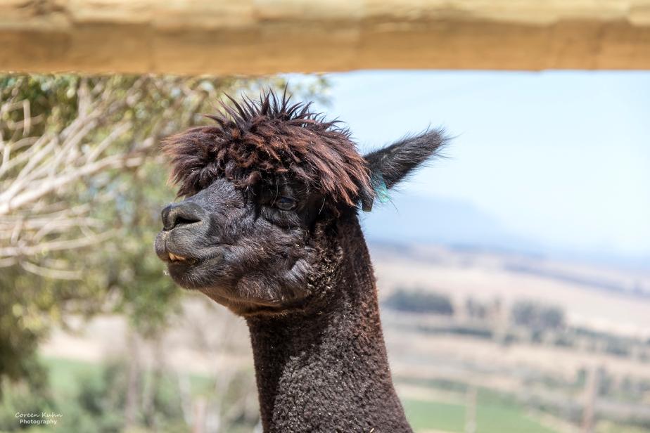 The Alpaca Loom#1