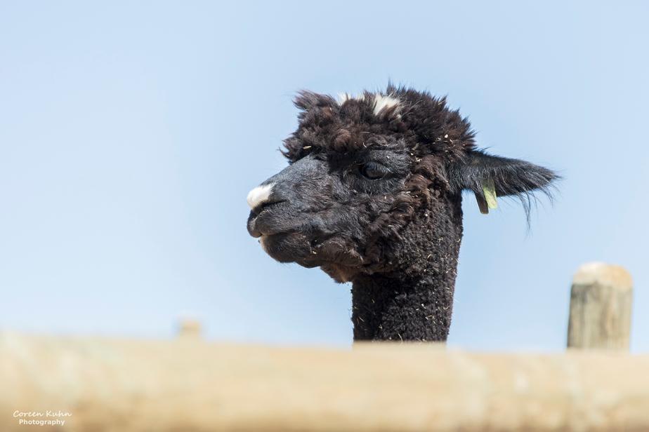 The Alpaca Loom#6