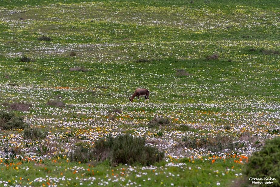 West Coast National Park: Wildlife ~ Bontebok#4