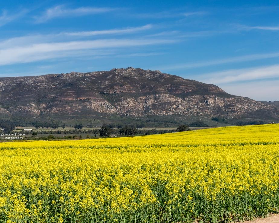 Views Along The R44 – Canola Field#1