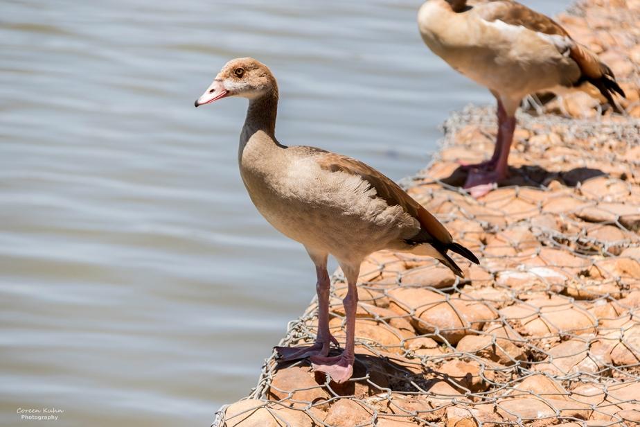 Sonstraaldam~ Egyptian Goose#1