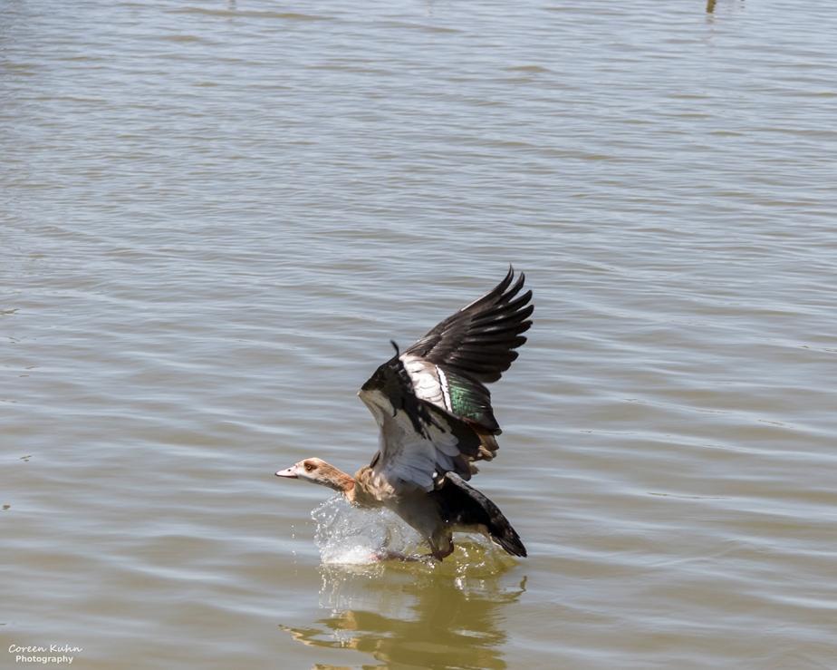 Sonstraaldam~ Egyptian Goose#3