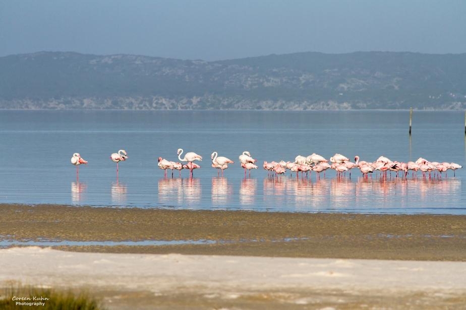 West Coast National Park: Birdlife ~ Greater Flamingo#17