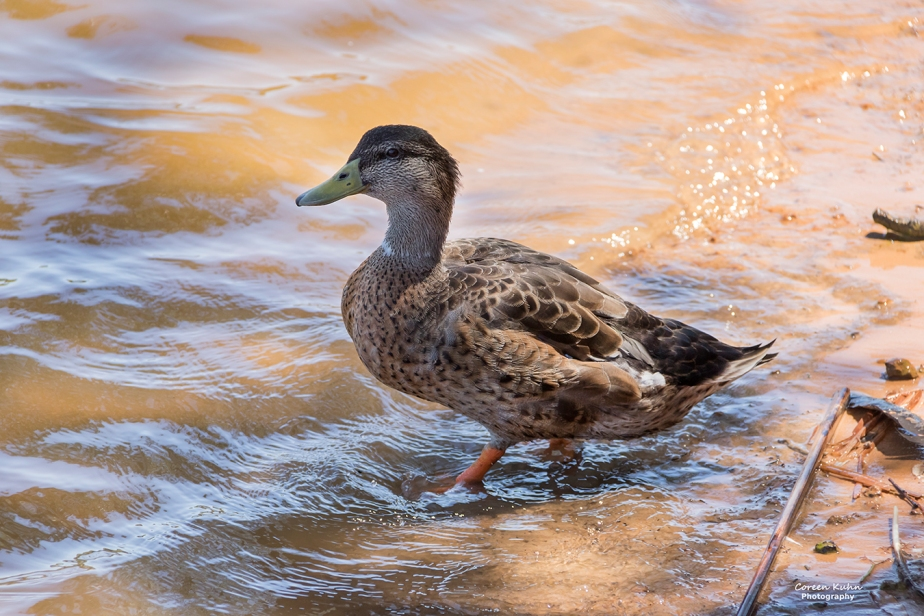 Sonstraaldam~ Juvi Male Mallard Duck#1