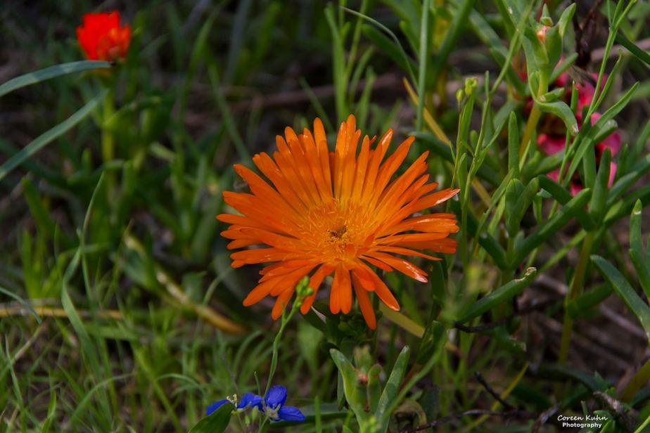 West Coast National Park: Lampranthus, Vygie#3
