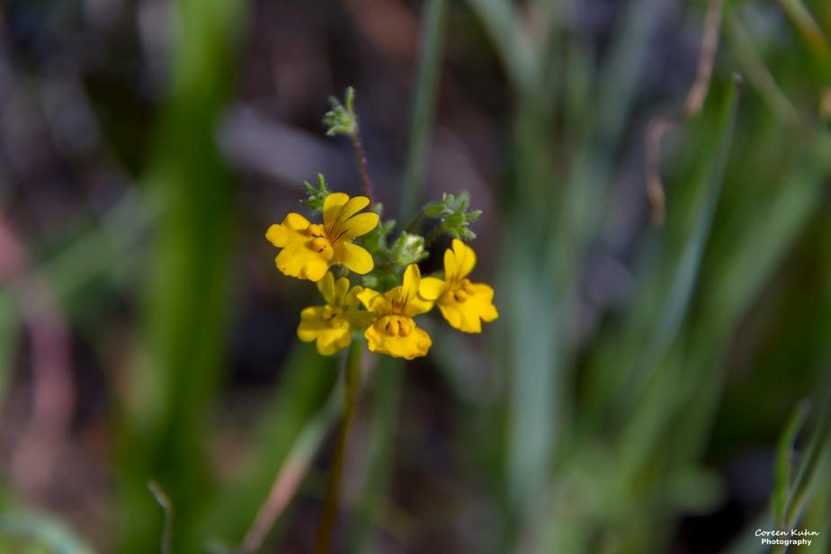 West Coast National Park: Nemesia affinis#6