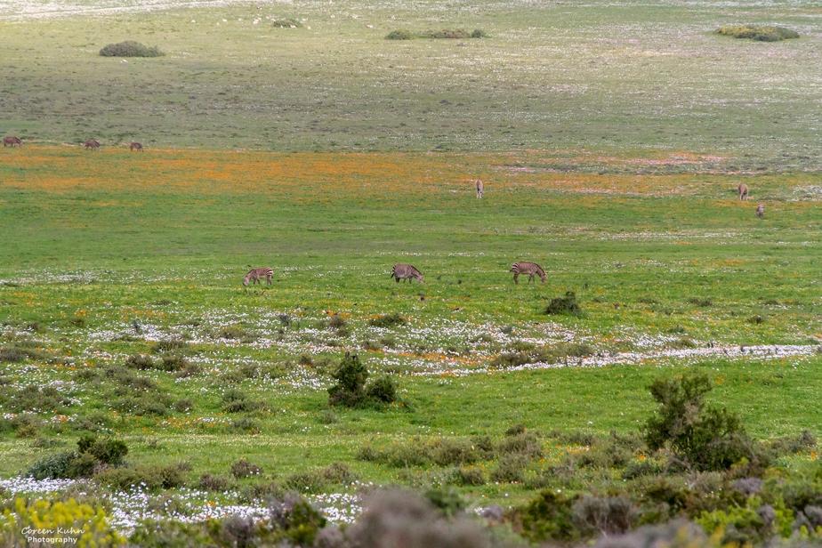 West Coast National Park: Wildlife ~ Cape Mountain Zebra#3