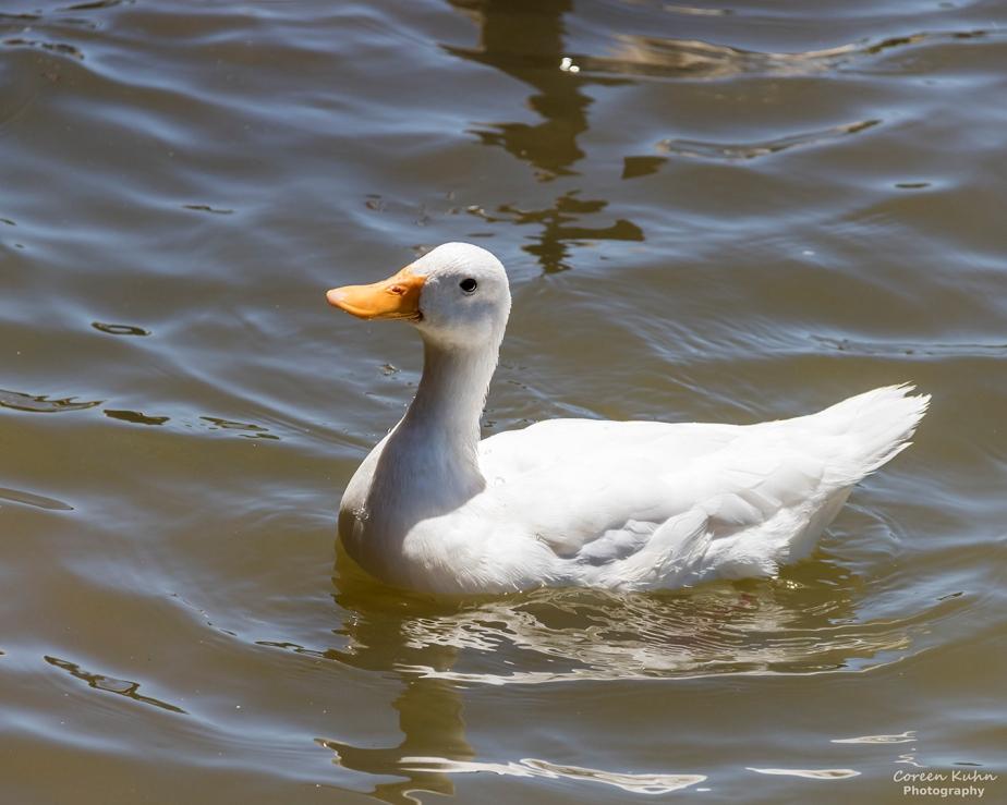 Sonstraaldam~ White Pekin Duck#1