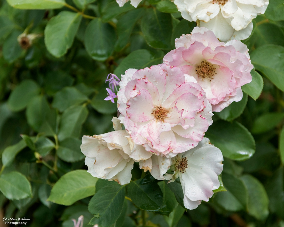 Rhebokskloof Wine Estate – Pink Rose#5