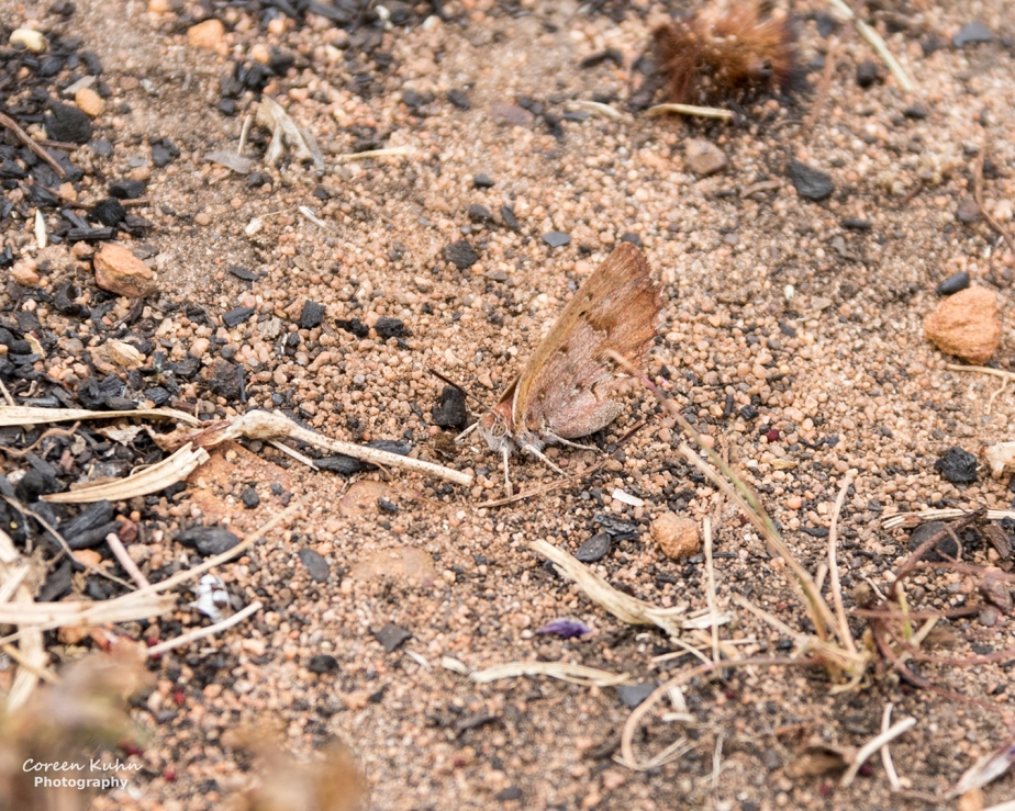 Durbanville Nature Reserve – Butterfly#1