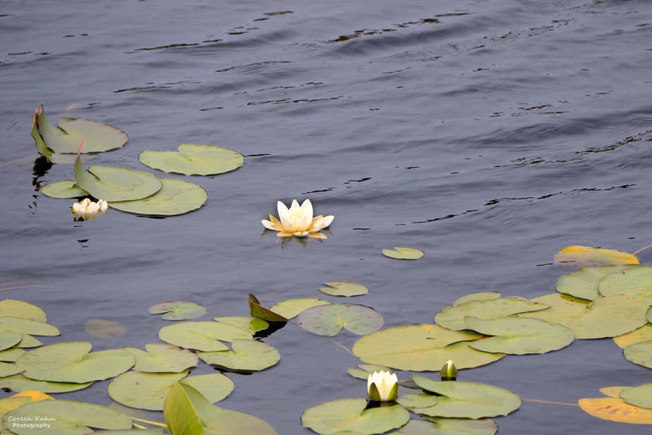 Cee's Flower Of The Day Challenge: 13 October 2021 – WaterLily