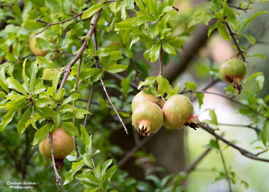 Rhebokskloof Wine Estate – Pomegranate#4