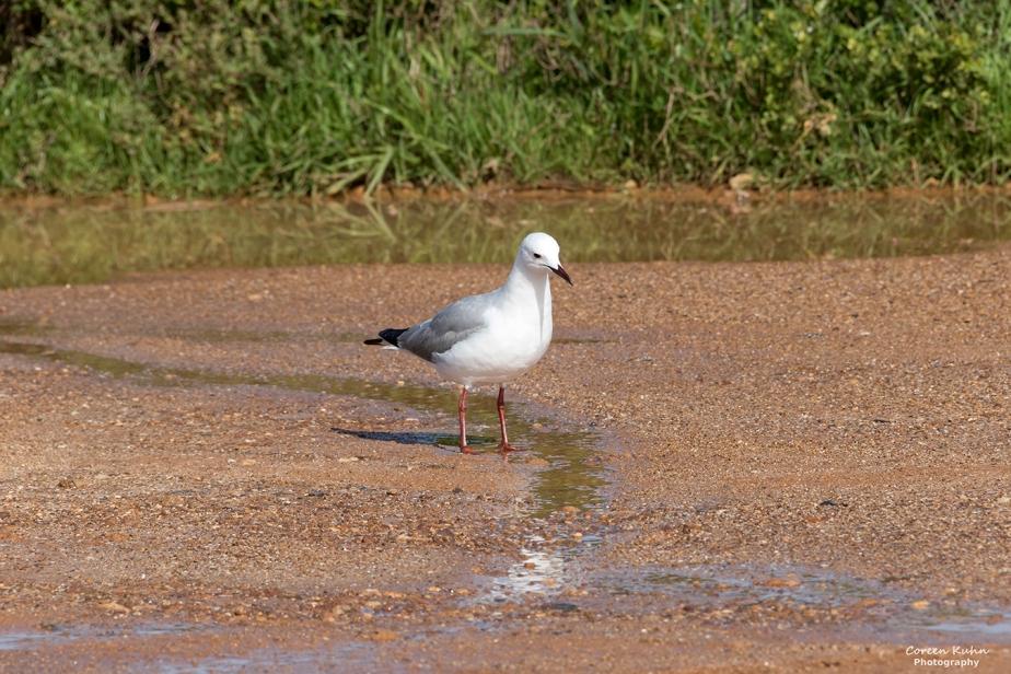 Blaauwberg Nature Reserve – Hartlaubs Gull#4