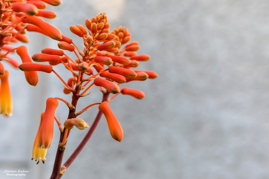 Cee's Flower Of The Day Challenge: 15 October 2021 – CoralAloe