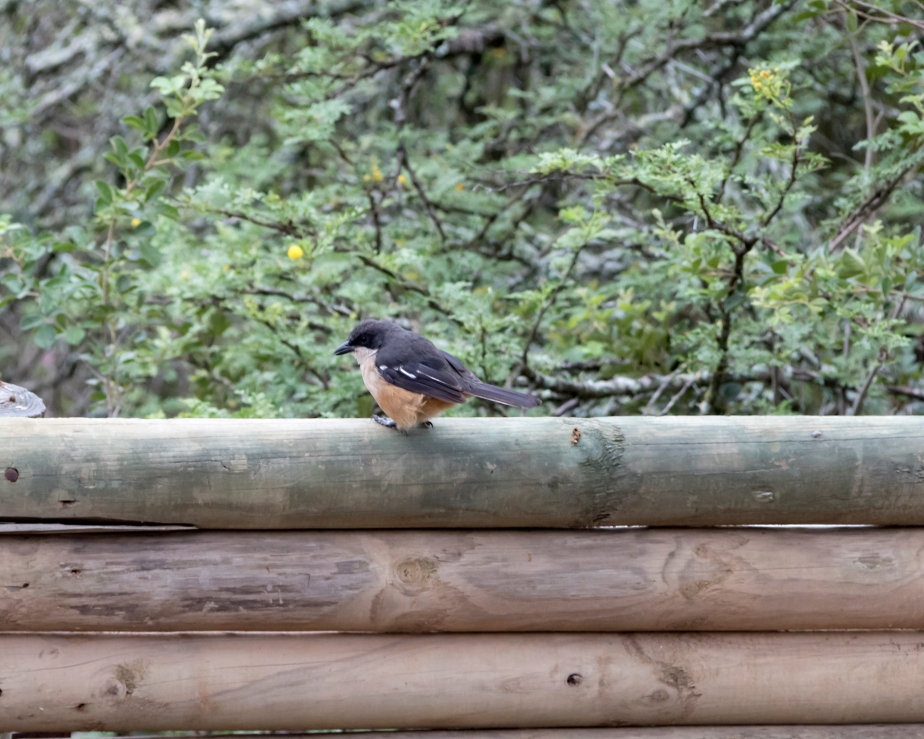 Stonehill River Lodge – Fiscal Flycatcher#20