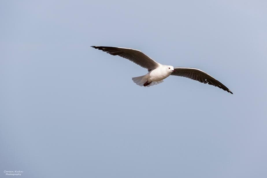 Blaauwberg Nature Reserve – Hartlaubs Gull#5
