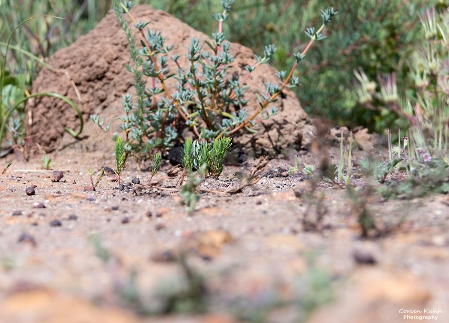 Durbanville Nature Reserve – Anthill#3